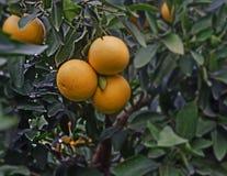 Ripe grapefruits. Close up of ripe grapefruits Royalty Free Stock Photography