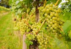Ripe grapes Stock Photos
