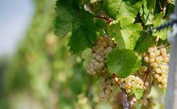 Ripe Grapes Stock Image
