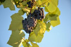 Ripe grapes against the blue sky. royalty free stock images