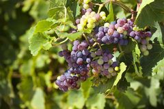Ripe grapes as close up view Royalty Free Stock Image