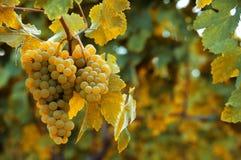Ripe grapes autumn background Stock Photos
