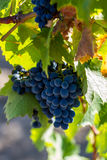 Ripe grapes in autumn. Dark blue grapes with green leaves on branch Royalty Free Stock Image
