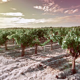 Ripe Grapes Stock Photography