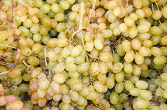 Ripe grapes Royalty Free Stock Images