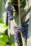 Ripe grapes Royalty Free Stock Photo