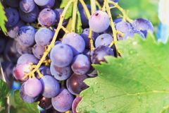 Harvesting of ripe grapes, Red wine grapes on vine in vineyard, royalty free stock image