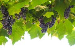 Ripe Grapes Stock Photo
