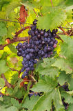 Ripe grapes. Ripe cabernet grapes ready for harvest Stock Photography