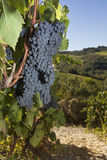 Ripe grapes, Chianti, Tuscany. Gorgeous huge cluster of ripe Sangiovese grapes on the vine in Tuscany Stock Photography