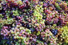 Grapes background. Ripe grapes in close up Royalty Free Stock Image