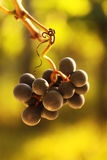 Ripe grapes. Close-up of ripening red wine grapes in vineyard during autumn Stock Image