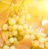 Ripe grapes close-up shot royalty free stock image