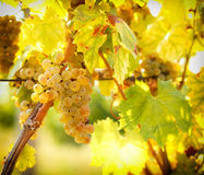 Ripe grapes colors like gold - Riesling Royalty Free Stock Photography