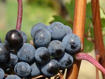 Ripe Grapes during Daytime Stock Photo
