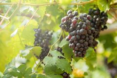 Ripe grapes in fall Ripe grapes growing at wine fields.  Stock Photography