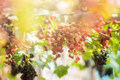 Ripe grapes in fall Ripe grapes growing at wine fields.  Royalty Free Stock Image