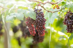 Ripe grapes in fall Ripe grapes growing at wine fields.  Royalty Free Stock Photos