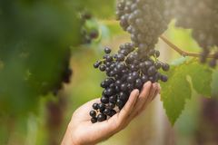Ripe grapes in fall Ripe grapes growing at wine fields.  Royalty Free Stock Photography