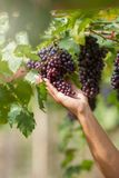 Ripe grapes in fall Ripe grapes growing at wine fields.  Royalty Free Stock Photo