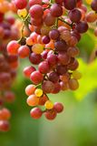 Ripe grapes in fall Ripe grapes growing at wine fields.  Stock Photo