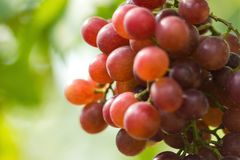 Ripe grapes in fall Ripe grapes growing at wine fields.  Stock Images