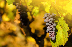 Ripe grapes in fall Royalty Free Stock Images