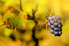 Ripe grapes in fall Royalty Free Stock Image