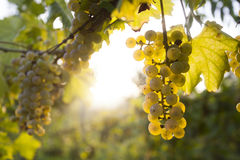 Ripe grapes in fall Royalty Free Stock Photos