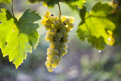 Ripe grapes in fall Royalty Free Stock Photo