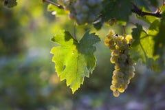 Ripe grapes in fall Stock Photo