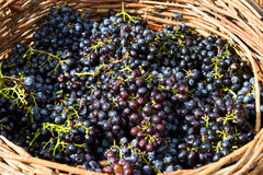 Ripe grapes. Ripe and fresh grapes in basket Stock Photos