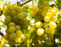 Ripe grapes Stock Photos
