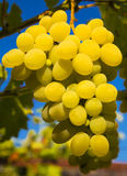 Ripe grapes Stock Images