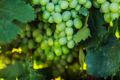 Ripe grapes in the garden. Grape leaves harvest Royalty Free Stock Image
