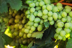 Ripe grapes in the garden. Grape leaves harvest Royalty Free Stock Images