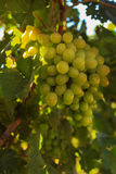 Ripe grapes in the garden. Grape leaves harvest Stock Photos