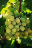 Ripe grapes in the garden. Grape leaves harvest Stock Photography