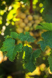 Ripe grapes in the garden. Grape leaves harvest Stock Image