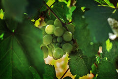 Ripe grapes in the garden. Grape leaves harvest Royalty Free Stock Photo