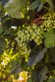 Ripe grapes in the garden Royalty Free Stock Photography