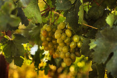 Ripe grapes in the garden Stock Photography