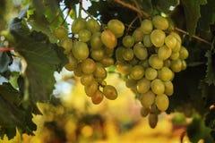 Ripe grapes in the garden Stock Photos