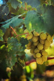 Ripe grapes in the garden Royalty Free Stock Image