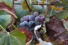 Ripe grapes Royalty Free Stock Photos
