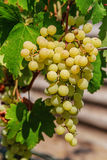 Ripe grapes with green leaves. Large bunch of white wine grapes hang from a vine. Ripe grapes with green leaves. Wine concept Royalty Free Stock Images