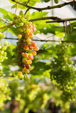Almost ripe grapes with green leaves on the vine. fresh fruits Stock Photos