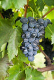 Ripe grapes growing Royalty Free Stock Images