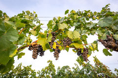 Bunches of ripe grapes growing in vineyard at sunset. Almost ready for harvest. Royalty Free Stock Photo