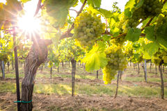 Bunches of ripe grapes growing in vineyard at sunset. Almost ready for harvest. Stock Photography